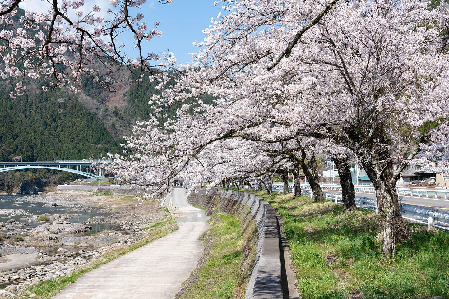 国道156号線沿いの桜並木 スライダー画像2
