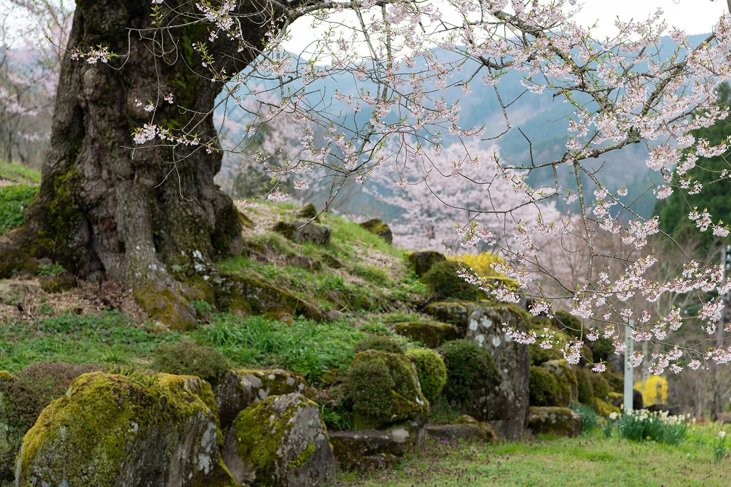 善勝寺の桜 スライダー画像2
