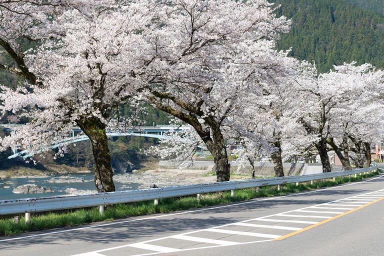 国道156号線沿いの桜並木