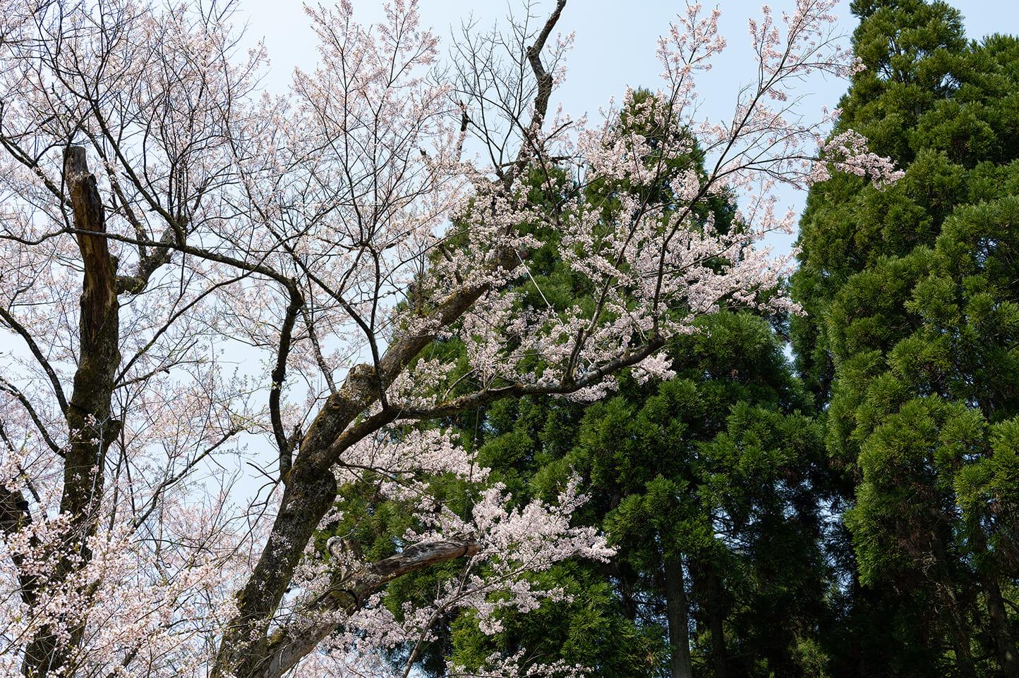 藤路の桜 スライダー画像3