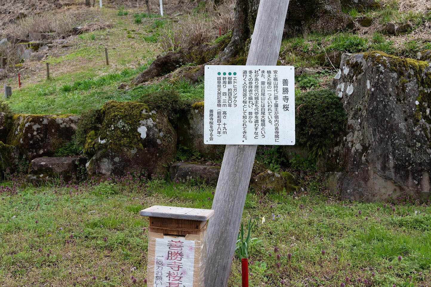 善勝寺の桜 スライダー画像3
