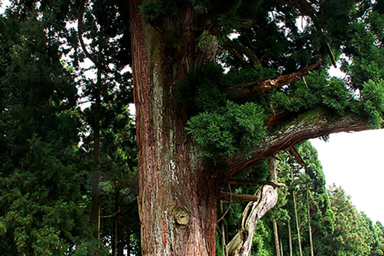 神の御杖杉
