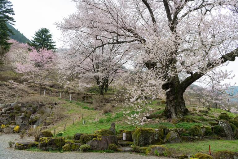 善勝寺の桜