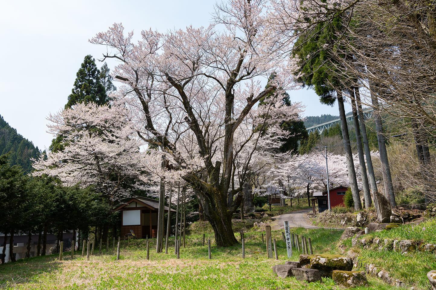 藤路の桜 スライダー画像1