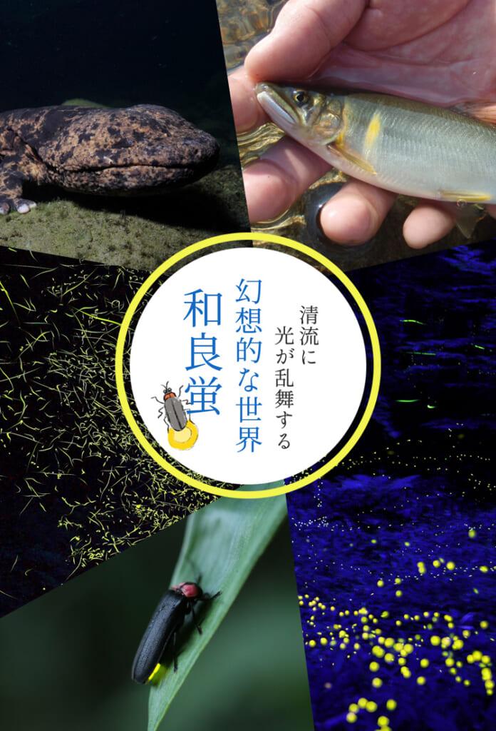 和良蛍  日本一の鮎と、オオサンショウウオが共生する美しい川に、幻想的な蛍を見る
