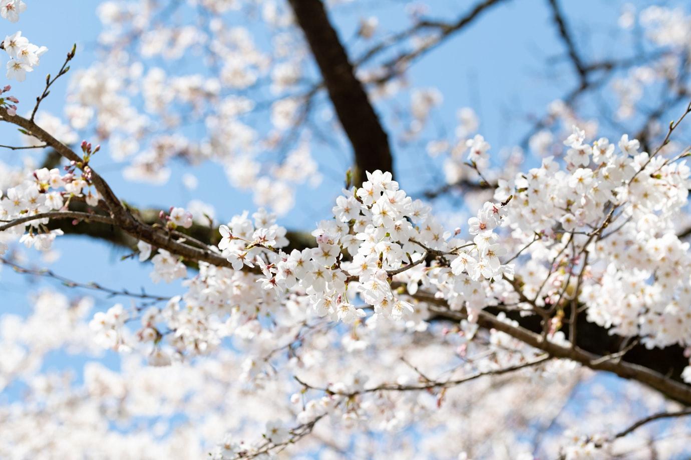 明建神社参道の桜並木 スライダー画像3