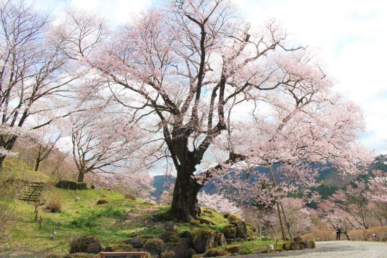 善勝寺の桜 スライダー画像1