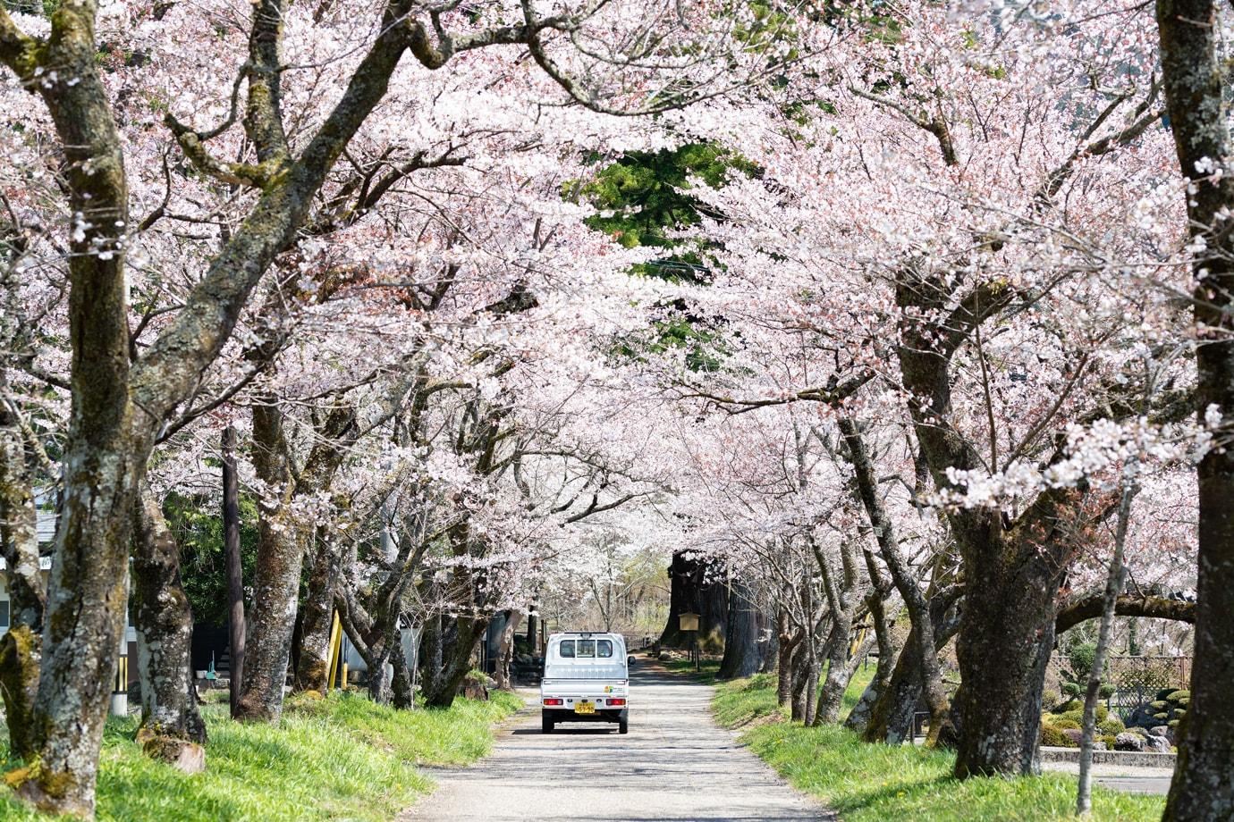 明建神社参道の桜並木 スライダー画像2
