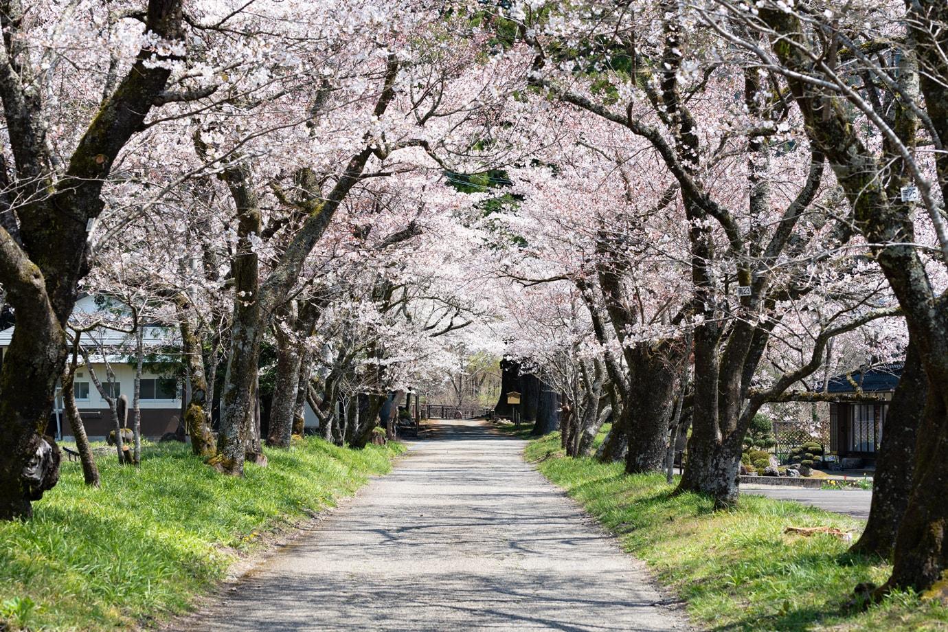 明建神社参道の桜並木 スライダー画像1
