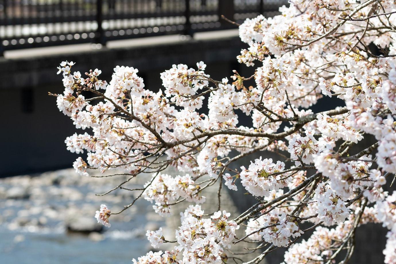 五町堤(ごちょうつづみ)の桜 スライダー画像2