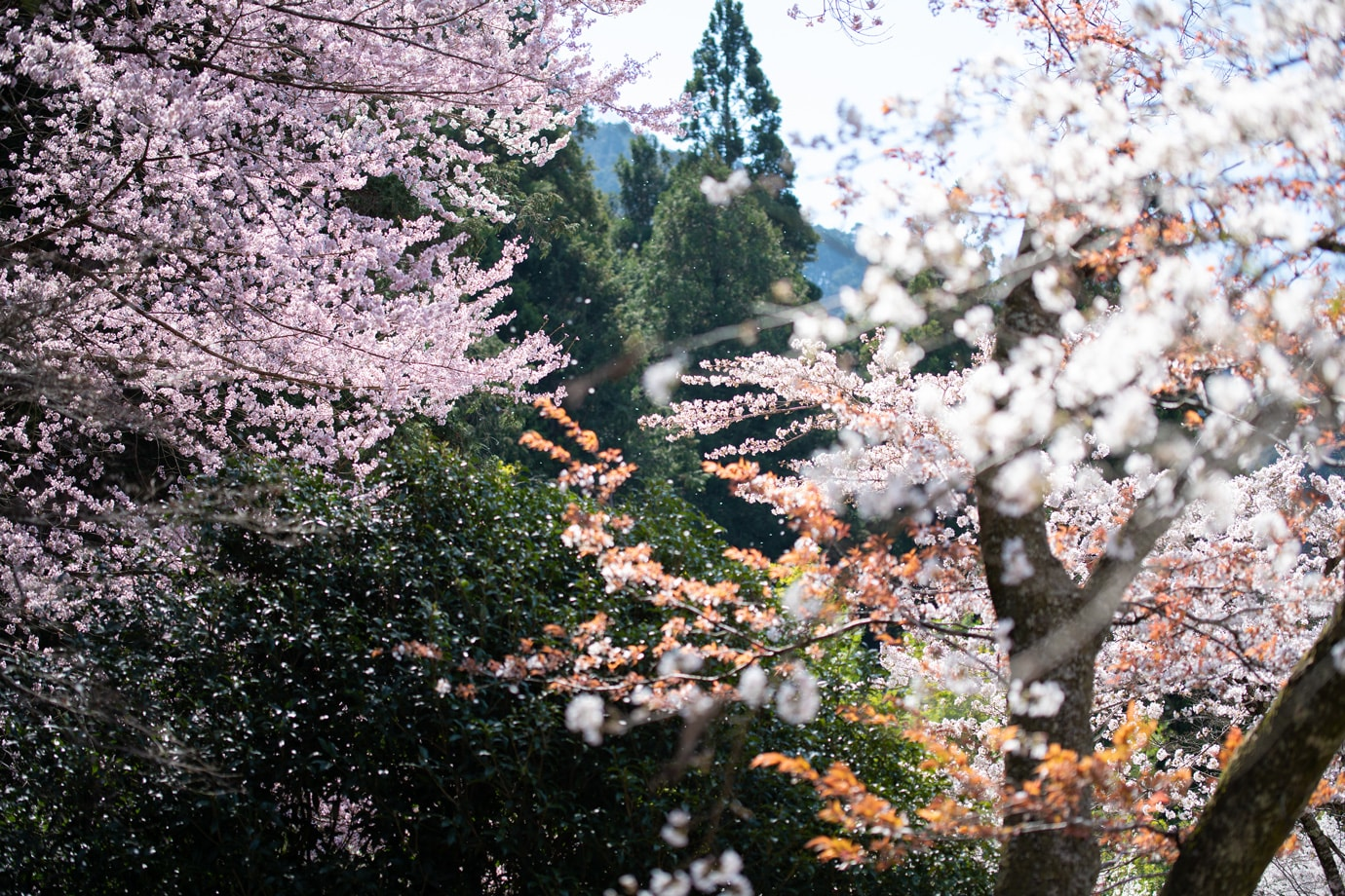 愛宕公園の桜 スライダー画像2