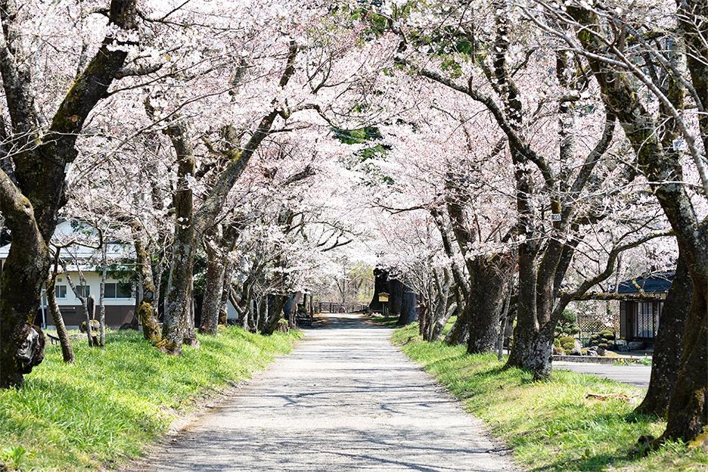 薪能くるす桜1